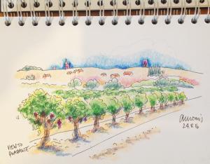 Coloured pencil sketch, Quarante vines